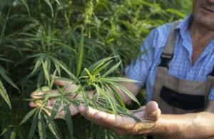 Devenir cultivateur de CBD
